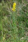 Linaria angustissima (Loisel.) Borbás