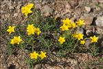 Photo 10/11 Linum campanulatum L.
