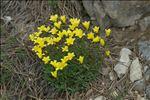 Photo 9/11 Linum campanulatum L.