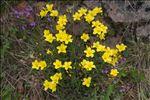 Photo 8/11 Linum campanulatum L.