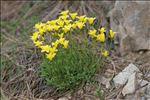 Photo 6/11 Linum campanulatum L.