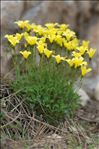 Photo 1/11 Linum campanulatum L.