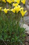 Photo 5/11 Linum campanulatum L.
