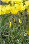 Photo 3/11 Linum campanulatum L.