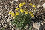 Photo 7/13 Coincya monensis subsp. cheiranthos (Vill.) Aedo, Leadlay & Muñoz Garm.