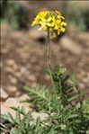 Photo 5/13 Coincya monensis subsp. cheiranthos (Vill.) Aedo, Leadlay & Muñoz Garm.