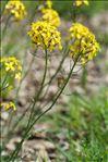 Photo 3/13 Coincya monensis subsp. cheiranthos (Vill.) Aedo, Leadlay & Muñoz Garm.