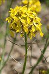 Photo 2/13 Coincya monensis subsp. cheiranthos (Vill.) Aedo, Leadlay & Muñoz Garm.