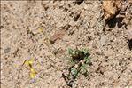 Photo 12/13 Coincya monensis subsp. cheiranthos (Vill.) Aedo, Leadlay & Muñoz Garm.