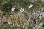 Linum suffruticosum subsp. appressum (Caball.) Rivas Mart.