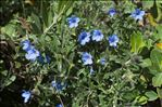 Photo 4/10 Lithodora fruticosa (L.) Griseb.
