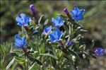 Photo 2/10 Lithodora fruticosa (L.) Griseb.
