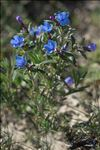 Photo 1/10 Lithodora fruticosa (L.) Griseb.