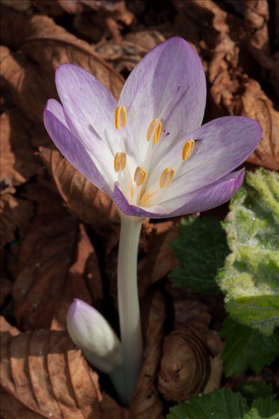 Colchicum autumnale L.