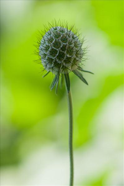 Lomelosia stellata (L.) Raf.