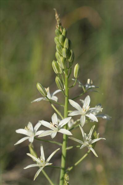 Loncomelos narbonensis (L.) Raf.