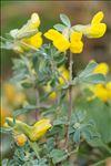 Lotus cytisoides L.