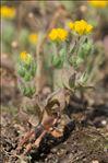 Lotus parviflorus Desf.