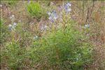 Lupinus angustifolius subsp. reticulatus (Desv.) Arcang.
