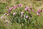 Photo 8/9 Lychnis flos-jovis (L.) Desr.