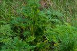 Photo 7/10 Conium maculatum L.