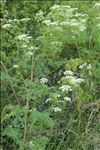 Photo 3/10 Conium maculatum L.
