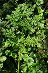 Conium maculatum L. var. maculatum