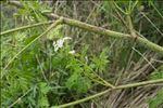 Photo 2/10 Conium maculatum L.