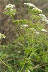 Photo 1/10 Conium maculatum L.