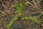Lycopodiella inundata (L.) Holub