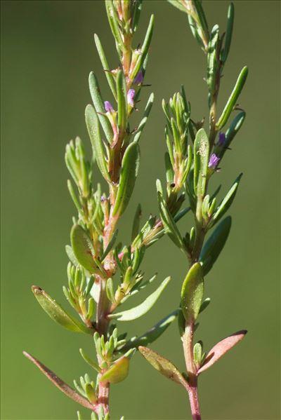 Lythrum thymifolia L.