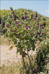 Malva arborea (L.) Webb & Berthel.