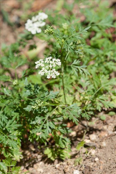 Aethusa cynapium subsp. elata (Friedl.) Schübler & G.Martens
