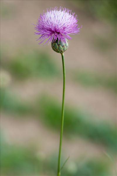 Mantisalca salmantica (L.) Briq. & Cavill.