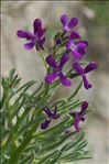 Photo 2/15 Matthiola sinuata (L.) R.Br.