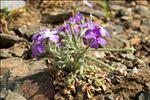 Matthiola tricuspidata (L.) R.Br.