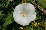 Convolvulus sepium L.