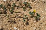 Photo 6/11 Medicago littoralis Rohde ex Loisel.