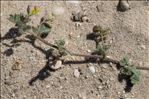 Photo 11/11 Medicago littoralis Rohde ex Loisel.