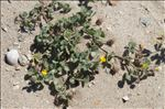 Photo 10/11 Medicago littoralis Rohde ex Loisel.
