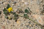 Photo 4/11 Medicago littoralis Rohde ex Loisel.