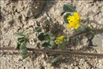Photo 2/11 Medicago littoralis Rohde ex Loisel.