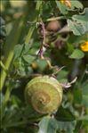 Medicago orbicularis var. marginata (Willd.) Benth.