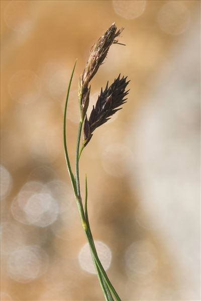Carex pseudofrigida C.B.Clarke