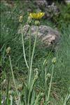 Crepis albida Vill. subsp. albida