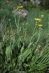 Photo 3/3 Crepis albida Vill.