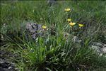 Photo 2/3 Crepis albida Vill.