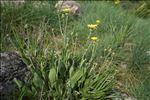 Photo 1/3 Crepis albida Vill.