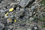 Photo 3/5 Crepis albida Vill.