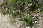 Photo 2/5 Crepis albida Vill.